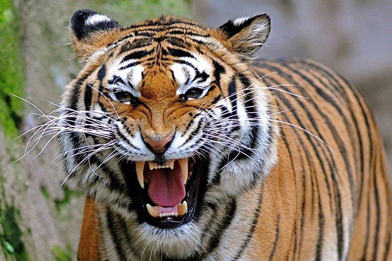 बाघ दिवस : शुक्लाफाँटामा पाटेबाघको सङ्ख्या बढ्दै