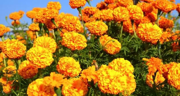 यस वर्ष फूल उत्पादनमा कमी,माग बढ्यो